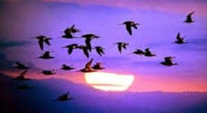 2014 JAN 15 MIGRATORY BIRDS 300