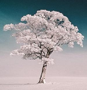 2013 DEC 8 SNOWY TREE 300