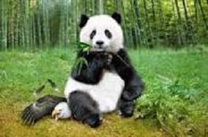 2014 DEC 17 CHINA PANDA 300