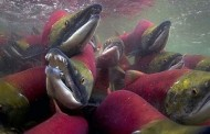 Hàng Triệu Cá Hồi Đỏ Lúc Nhúc Dưới Sông ở Canada --- Chừng Nào Đoàn